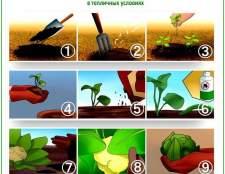 Вирощування капусти в теплиці: ранній, пекінської, кольоровий і білокачанної