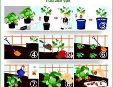 Вирощування полуниці в теплиці: огляд класичних і сучасних методів
