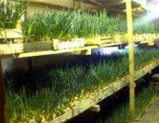 Вирощування цибулі на зелень з насіння як бізнес