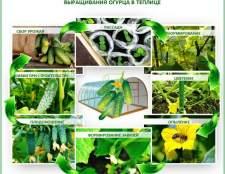 Вирощування огірків в теплиці з полікарбонату: покрокова технологія від а до я