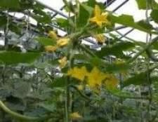 Вирощування огірків в теплиці. Шкідники і хвороби огірків